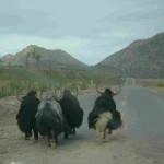 Yaks on the road in Tibet